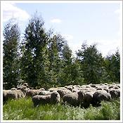 植林地での放牧