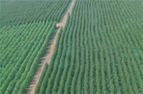 Aerial photograph of AMCEL plantation area