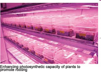 Enhancing photosynthetic capacity of plants to promote rooting