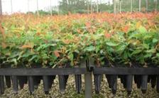挿し木クローン増殖