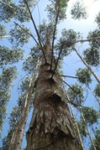 クローン選抜木