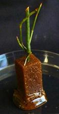 マオウ属植物